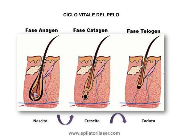 ciclo-vitale-del-pelo